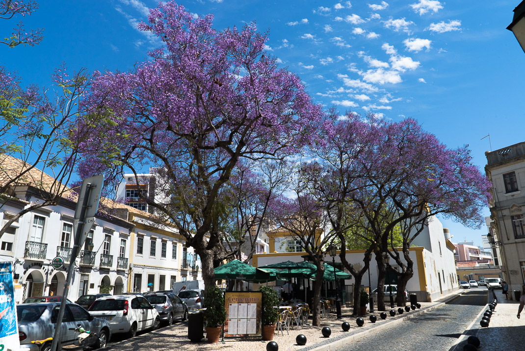Purple blossoms in Faro