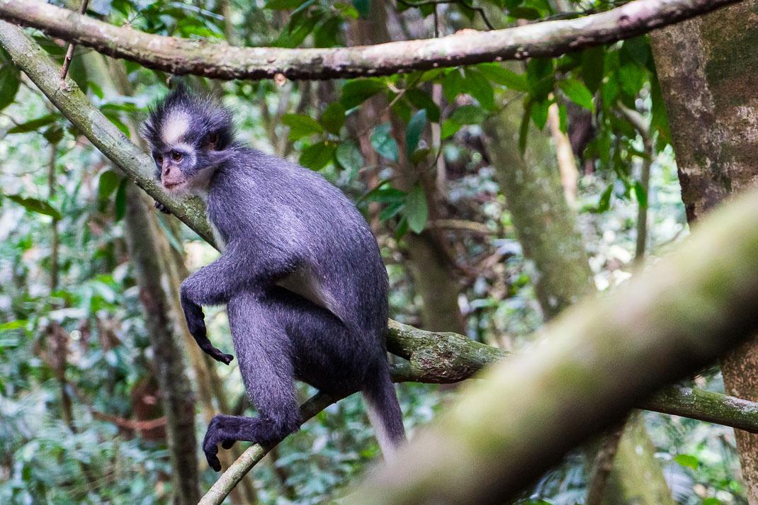 Bukit Lawang Langur Monkey