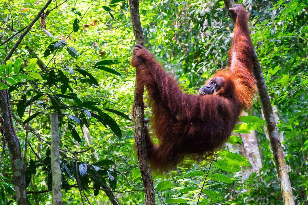 Bukit Lawang Orangutan Swinging