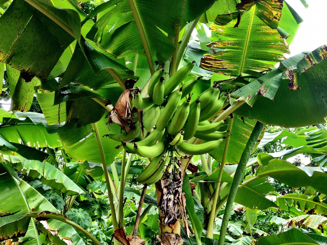 Little Corn Banana Tree