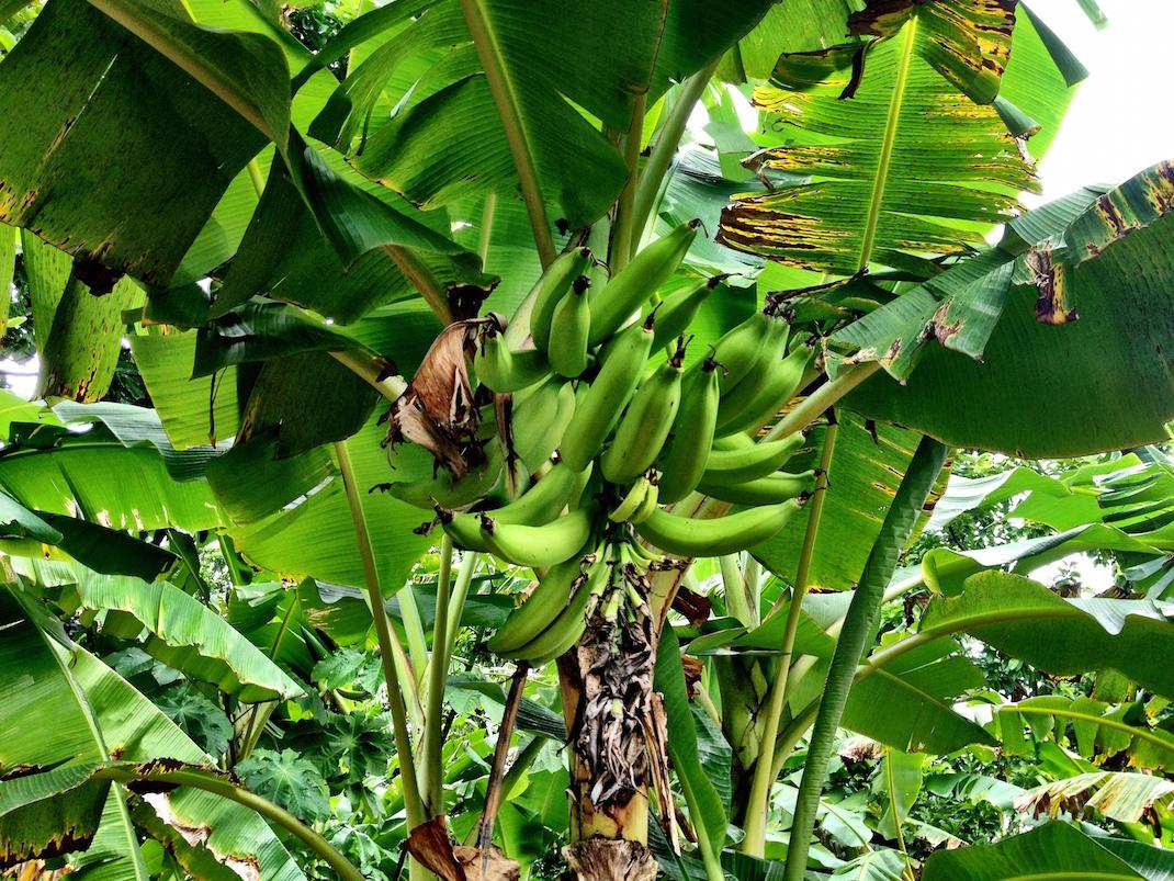 Little Corn Banana Tree