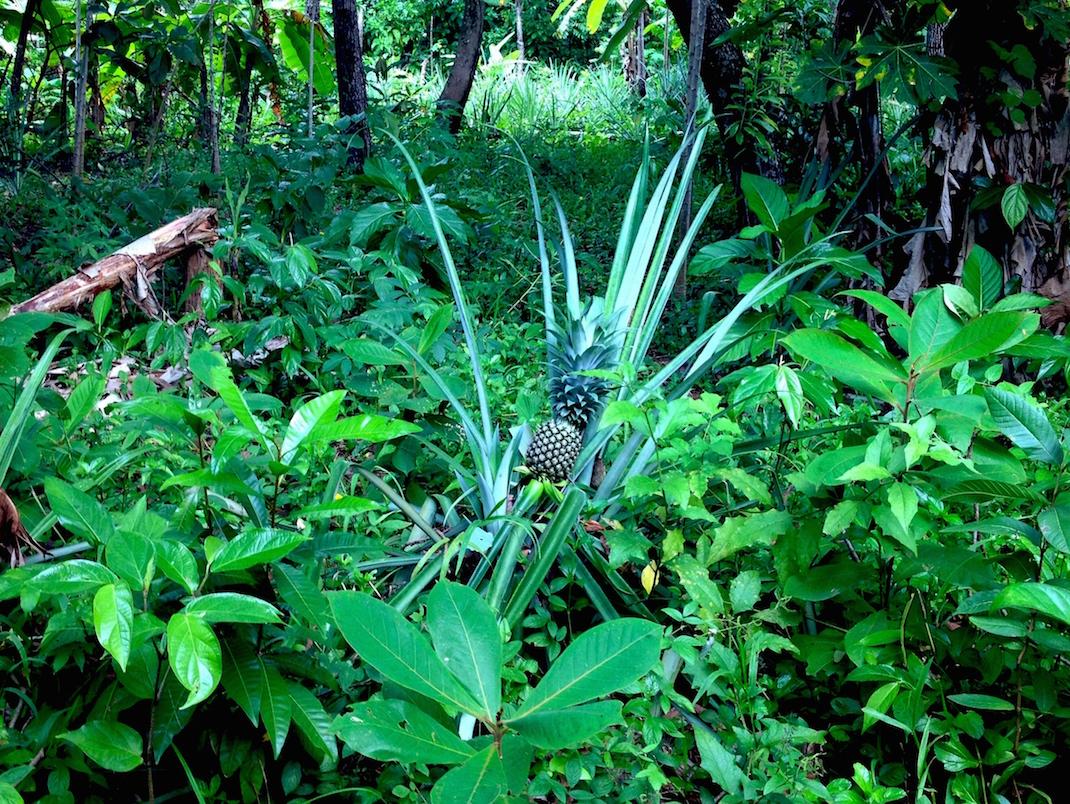 Little Corn Pineapple Tree