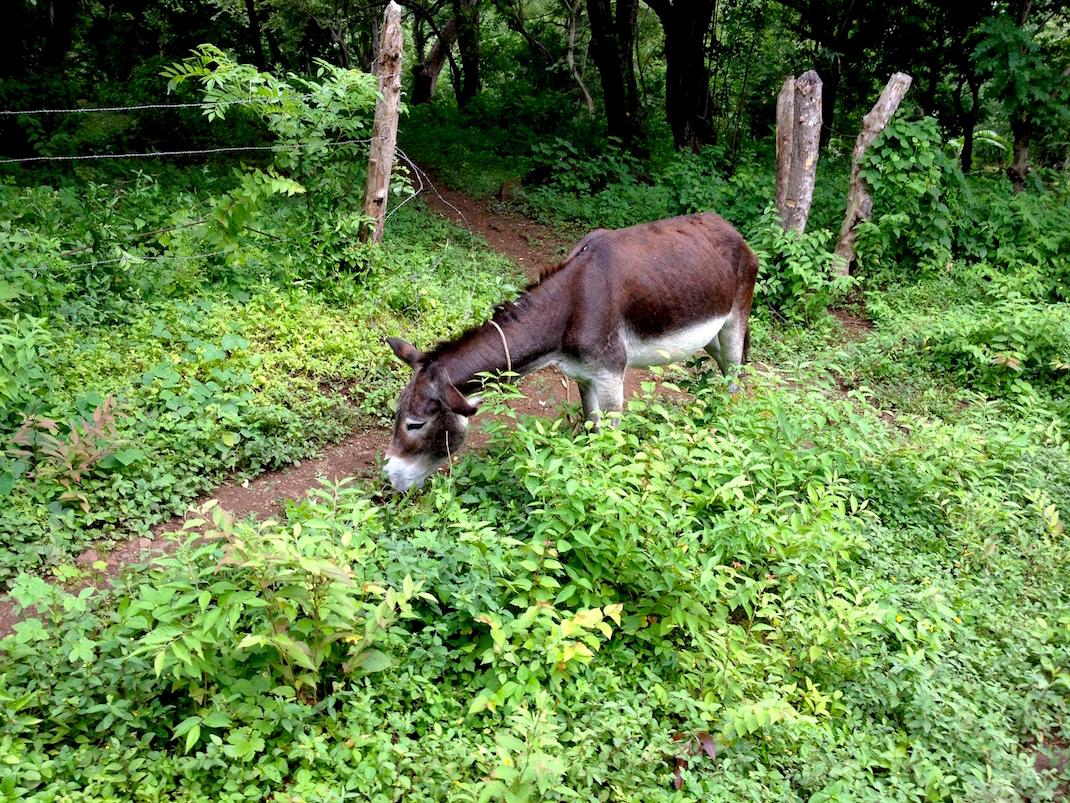 Ometepe Tied-up Donkey