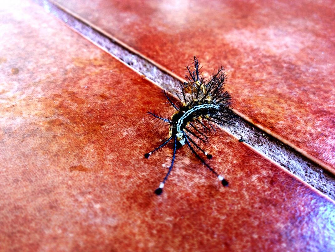 Ometepe Caterpillar on Tile