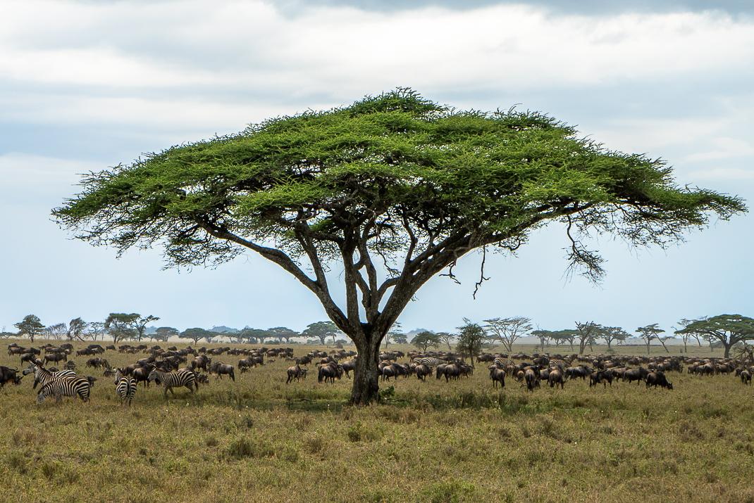 Animal Herd Under Acacia
