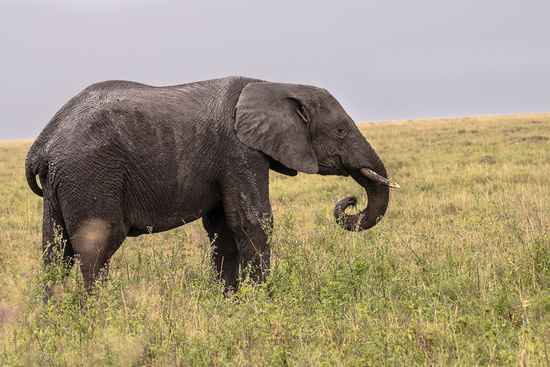 Central Serengeti Elephant Eating