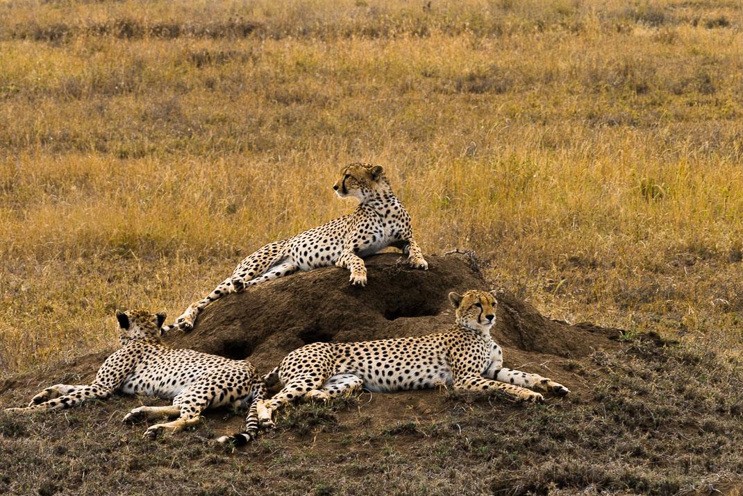 Serengeti Safari Cheetah Group
