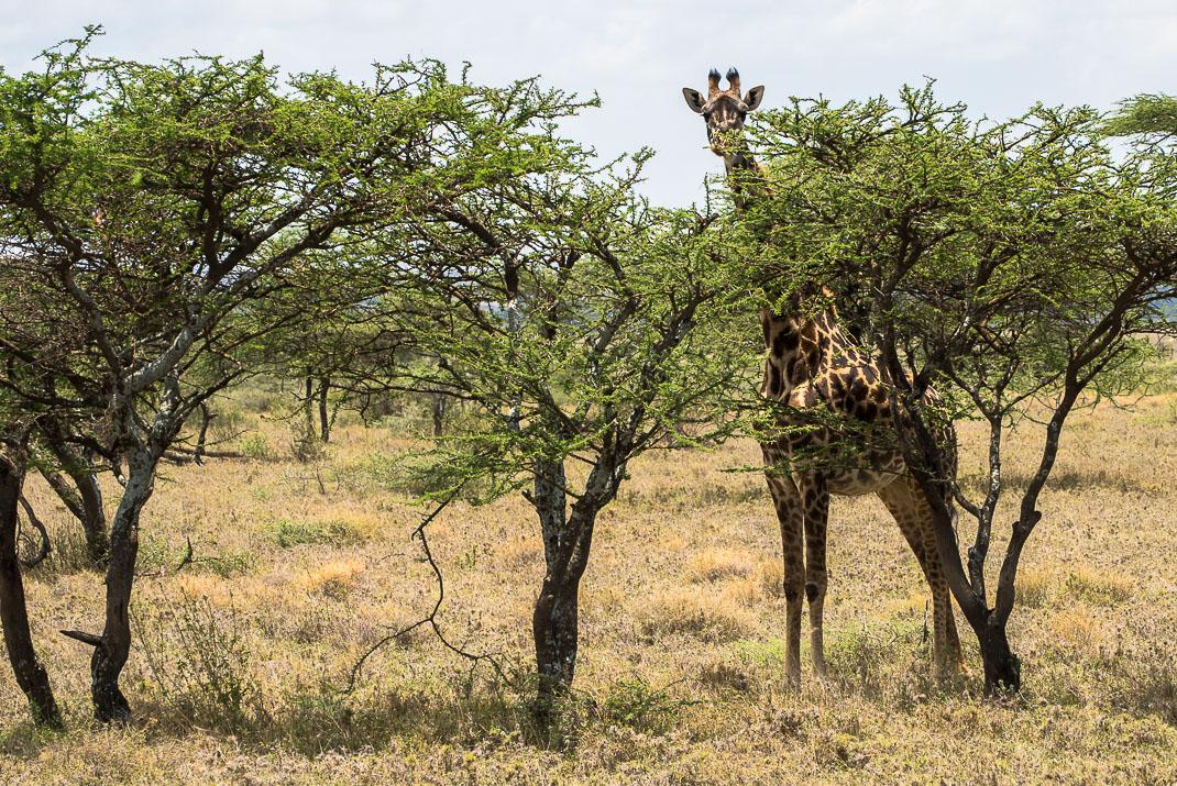 Serengeti Safari Giraffe Hiding
