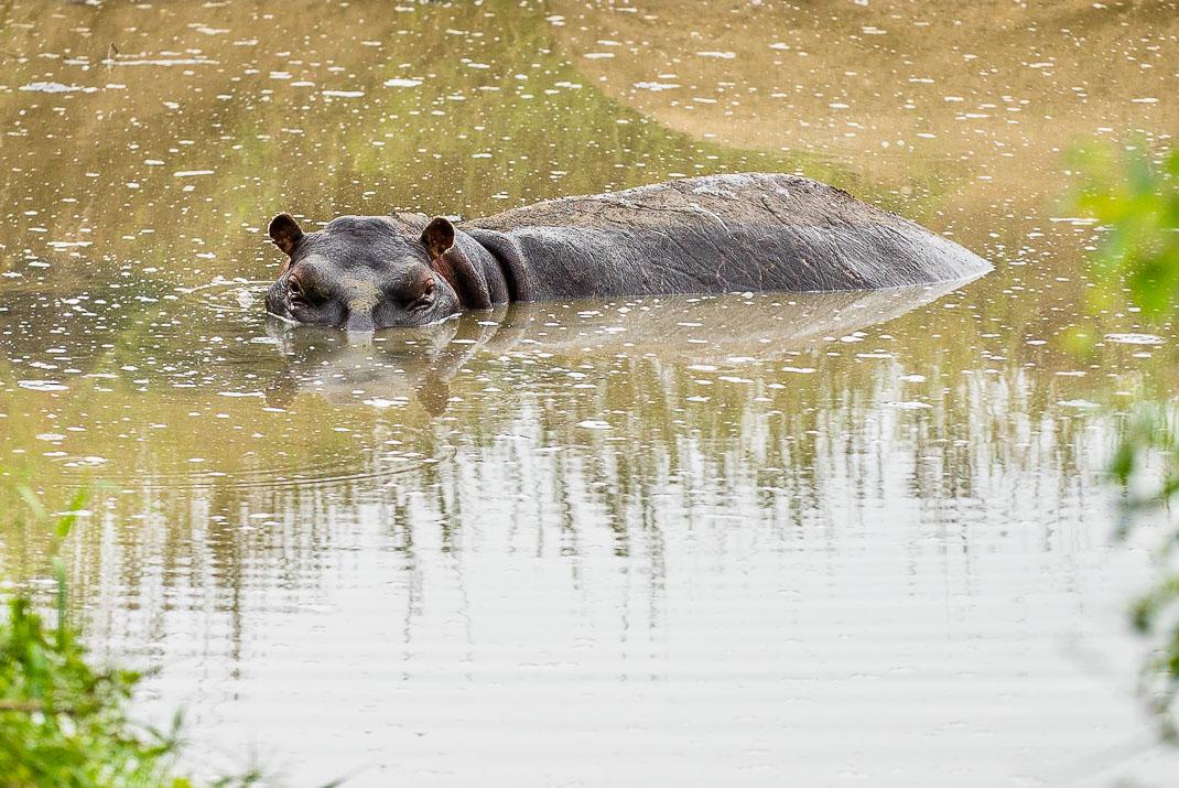 Serengeti Hippopotamus Under Water