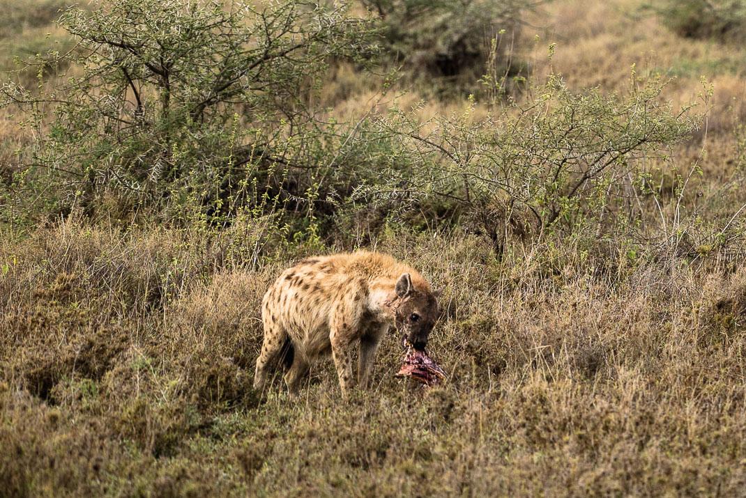 Serengeti Safari Stealing Kill