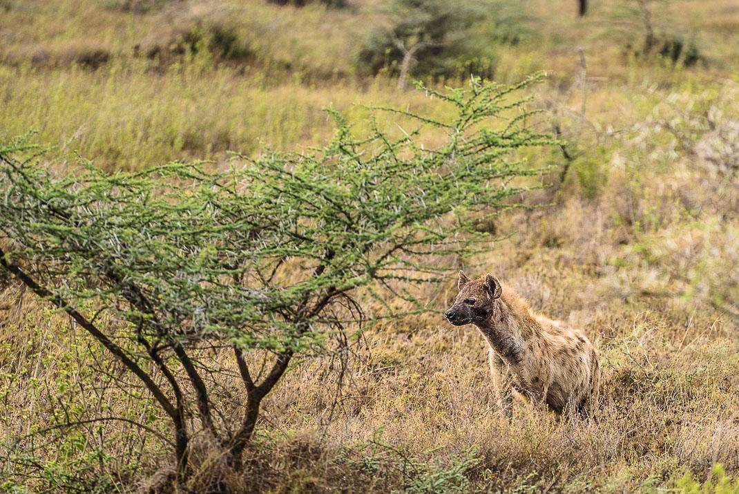 Serengeti Safari Hyena Waiting