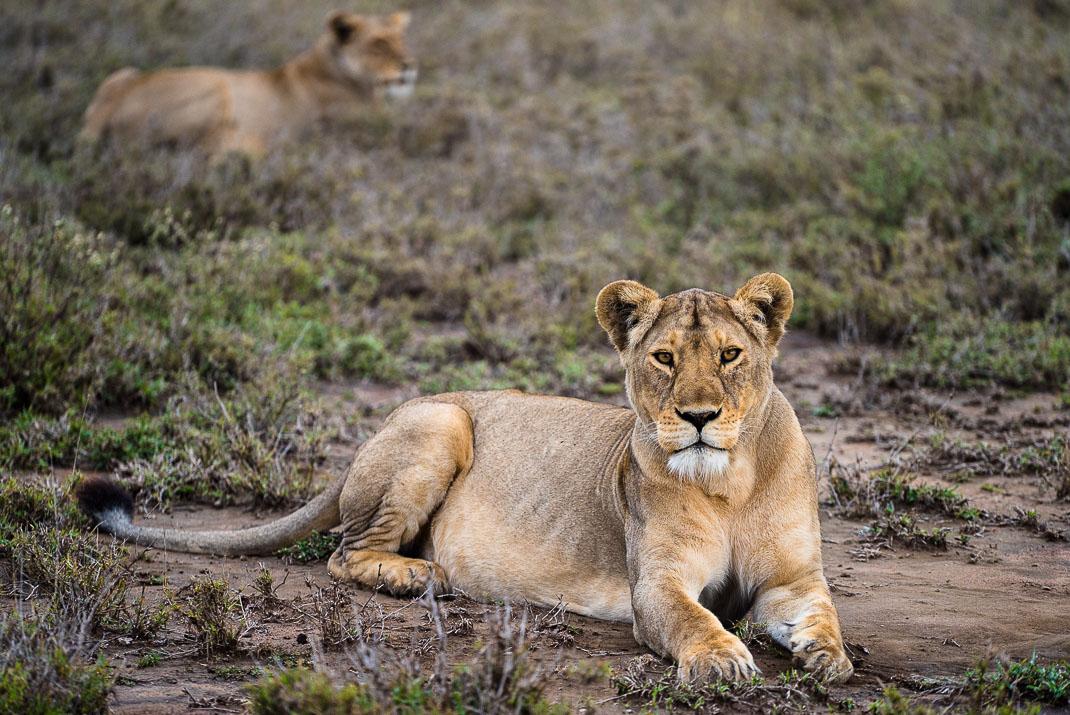 Serengeti Safari Lioness Watching