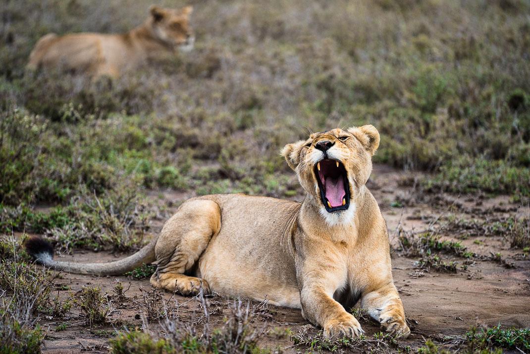 Serengeti Safari Lioness Yawning