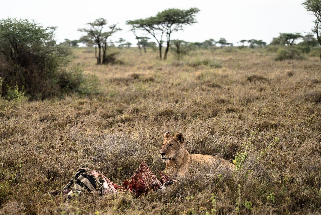 Serengeti Safari Zebra Kill