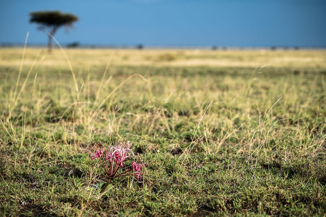 Serengeti Colorful Blooming Flower