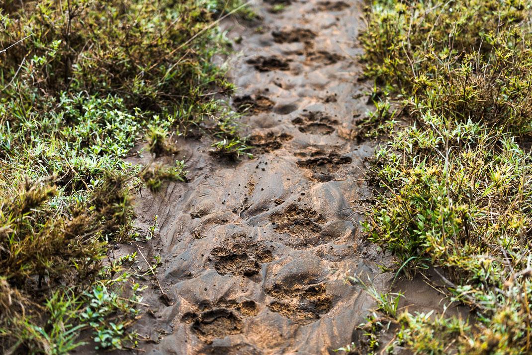 Serengeti Pawprints Wet Dirt