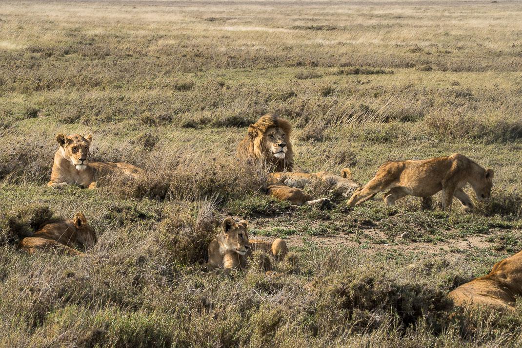 Serengeti Safari Lion Pride