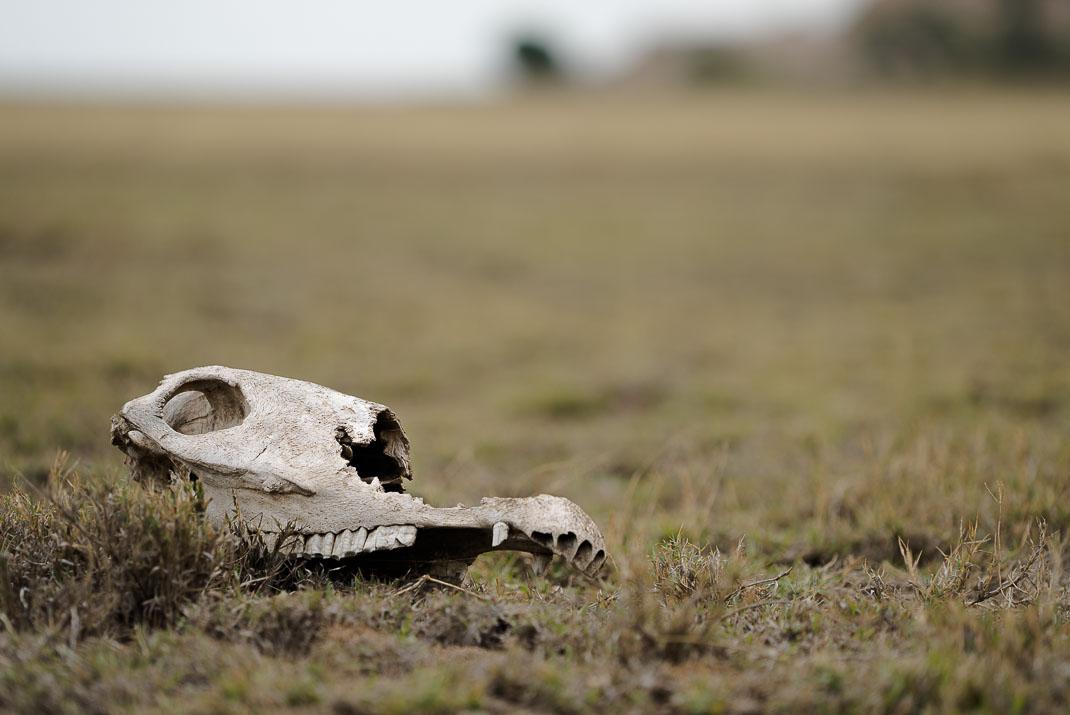 Serengeti Plains Skull Closeup