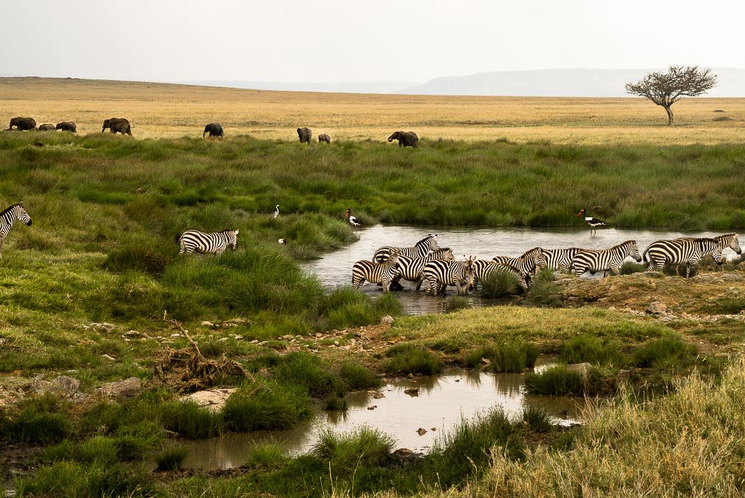 East Serengeti Zebra Herd
