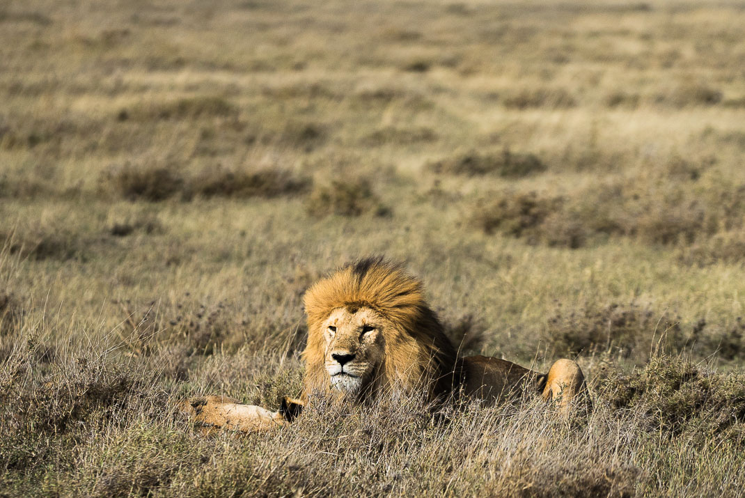 Serengeti Safari Lion Face