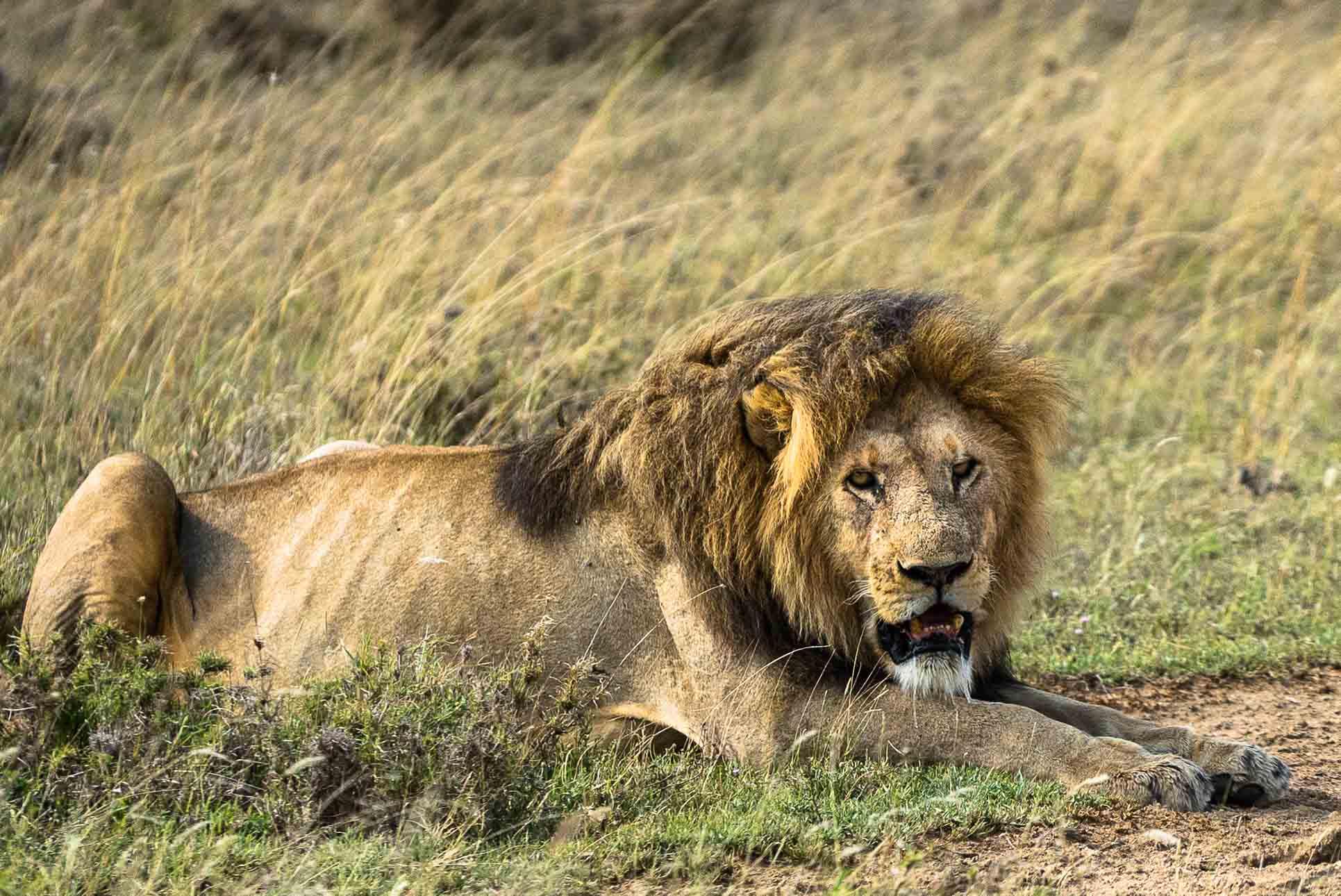 Serengeti Safari Old Lion