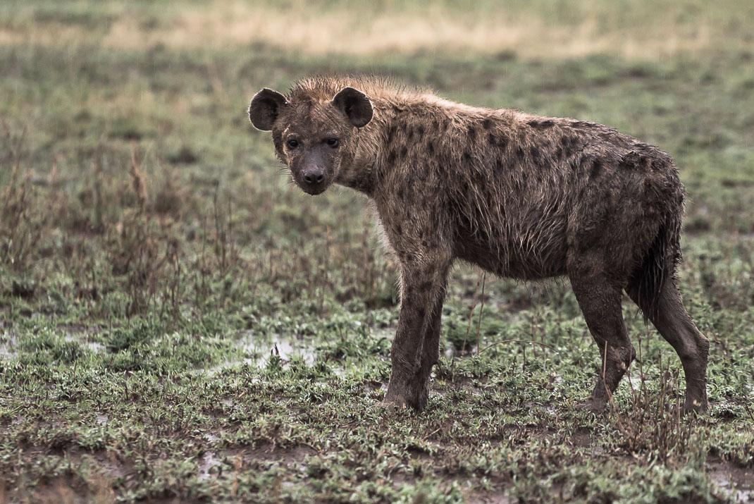 Serengeti Safari Wet Hyena