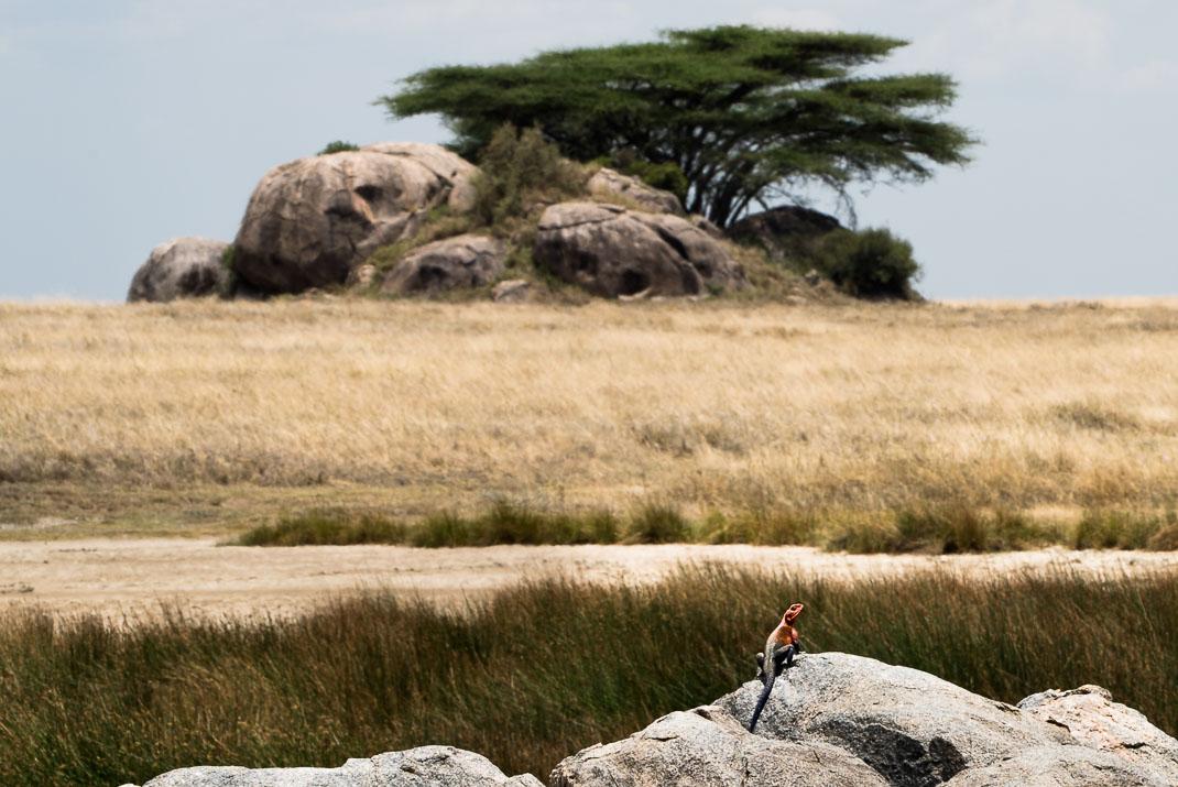 Serengeti Red Headed Lizard
