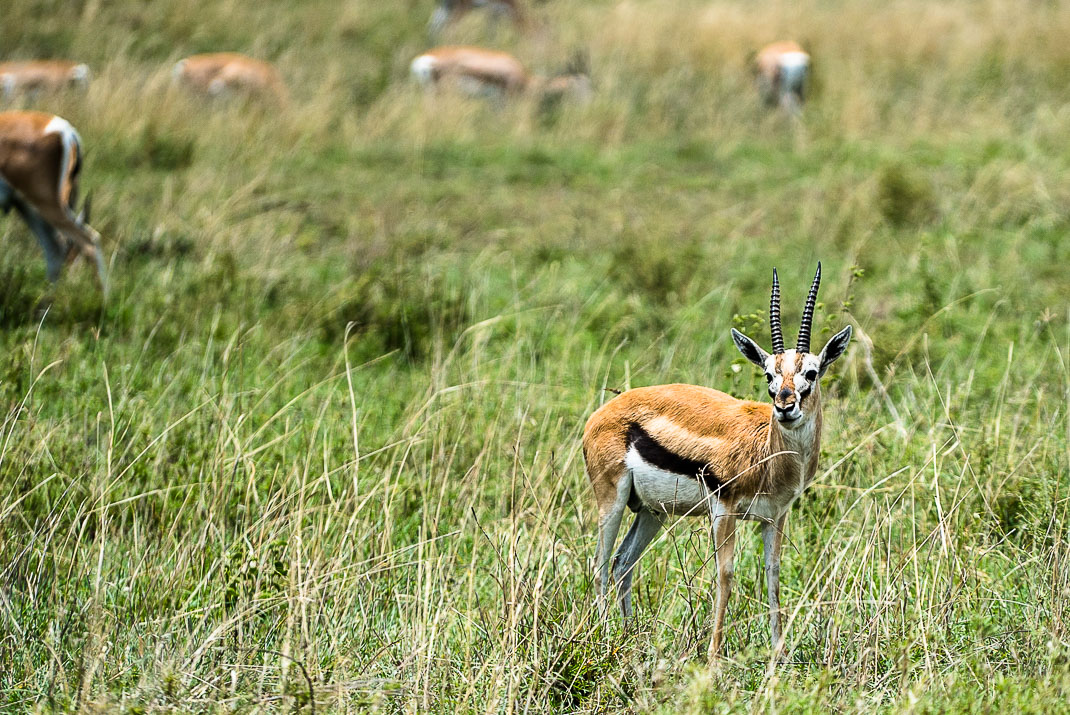 Serengeti Safari Solo Gazelle