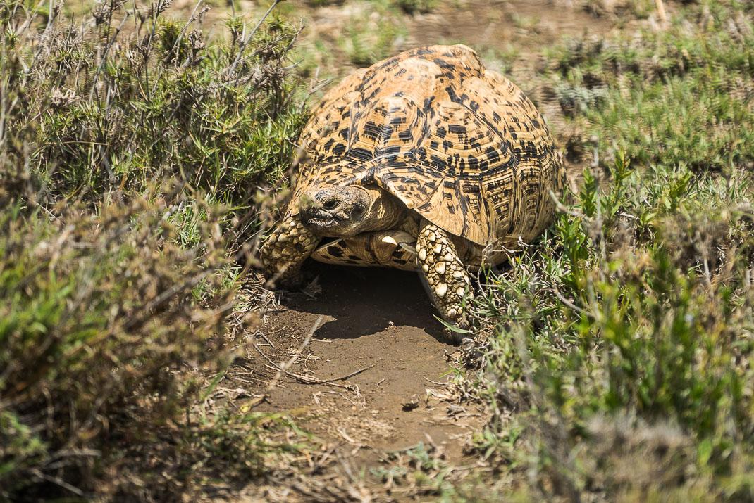 Serengeti Safari Trail Tortoise
