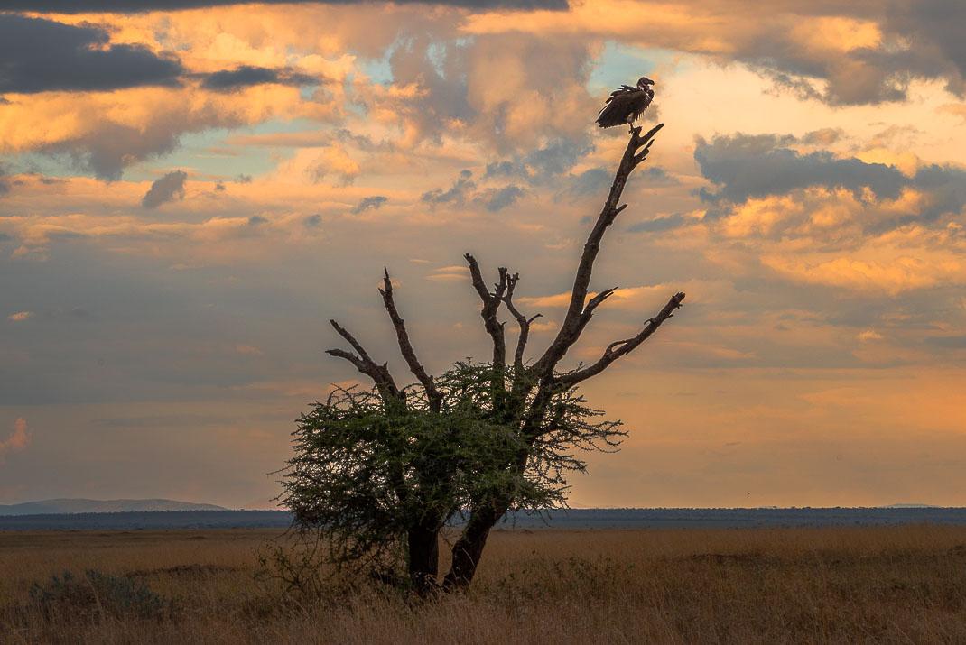 East Serengeti Sunset Vulture