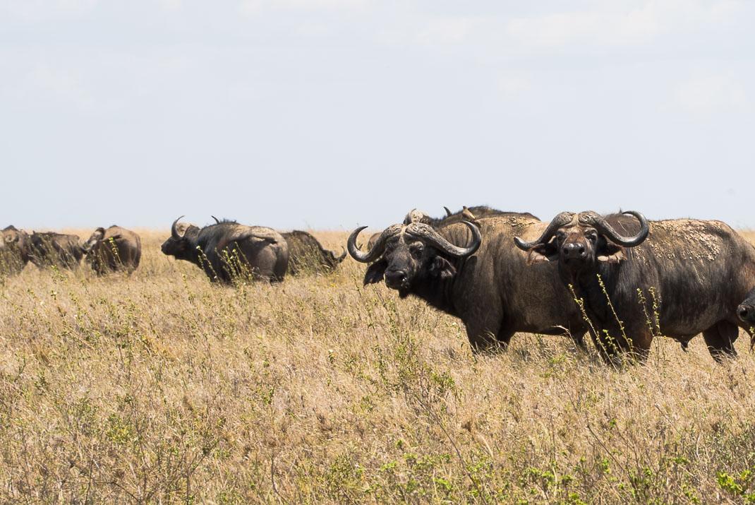Serengeti Safari Cape Buffalo