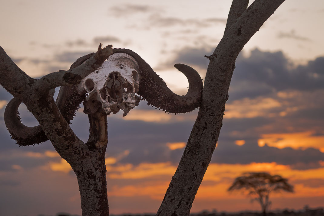 Serengeti Buffalo Skull Sunset