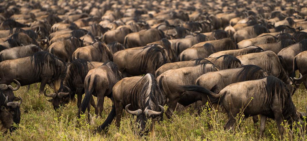 Serengeti Wildebeest Migration Eating