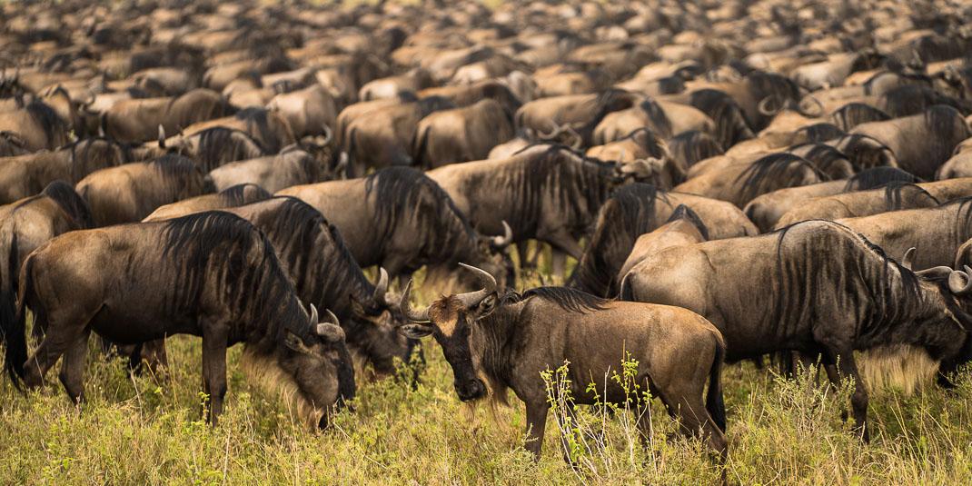 Serengeti Wildebeest Migration Watching