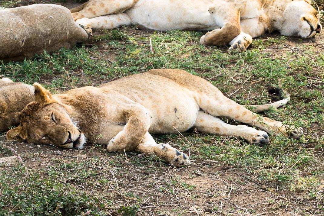 Serengeti Safari Young Lion