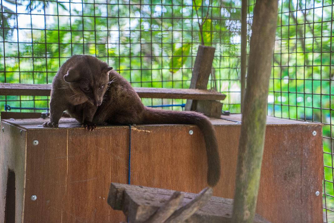 Bali Kopi Luwak Cage