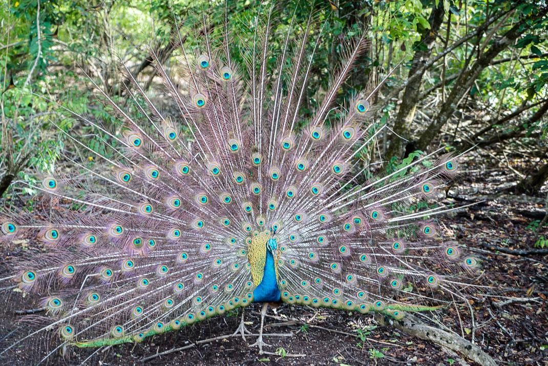 Prison Island wild peacock