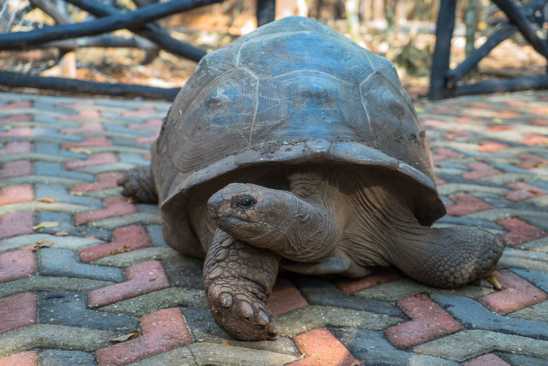 Prison Island tortoise stretch