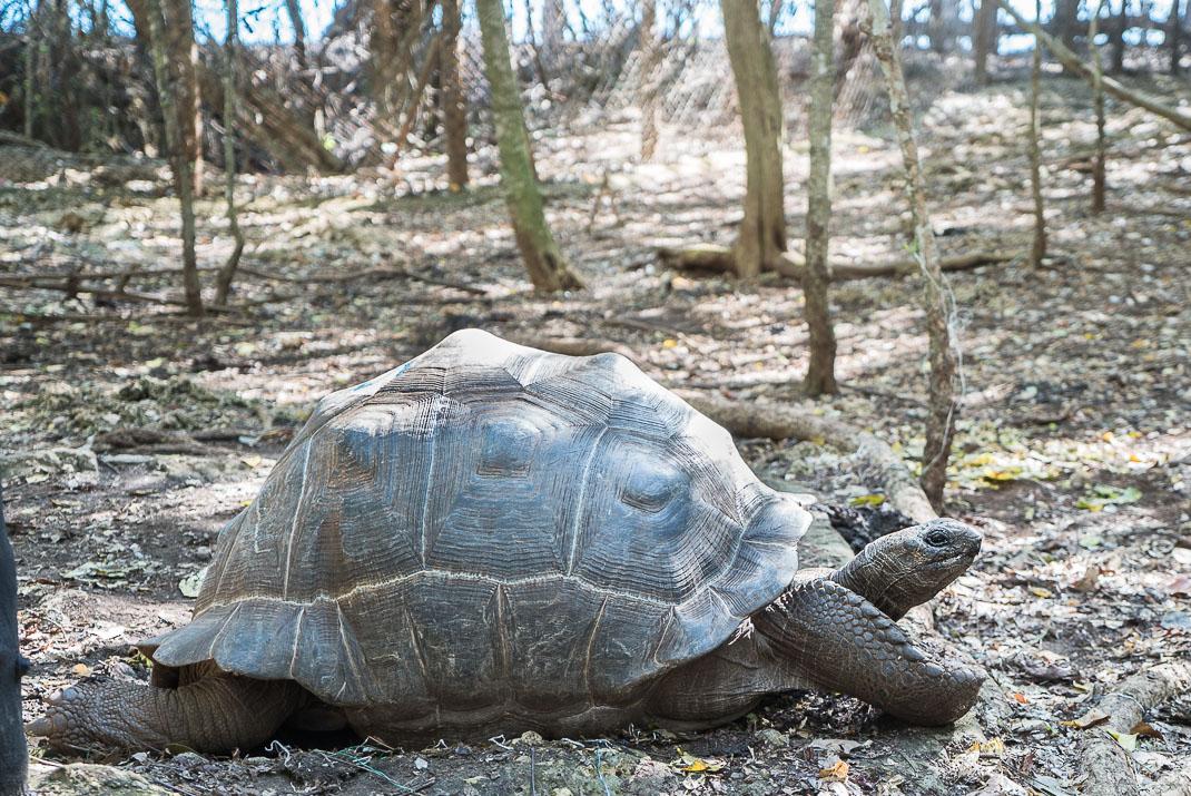 Prison Island tortoise side