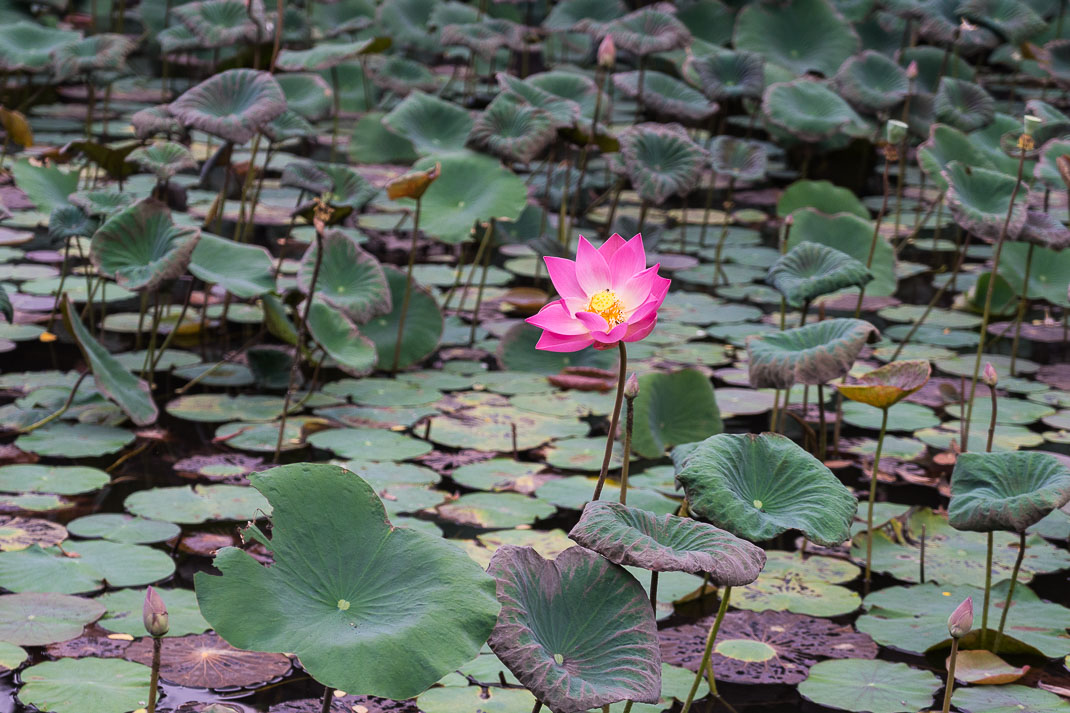 Ubud Lotus Flower Blooming