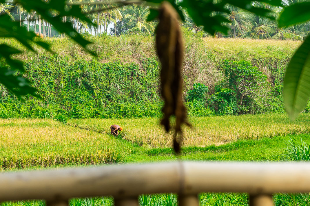 Ubud Man in rice field