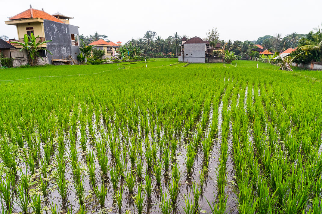 Ubud Rice Field Buildings