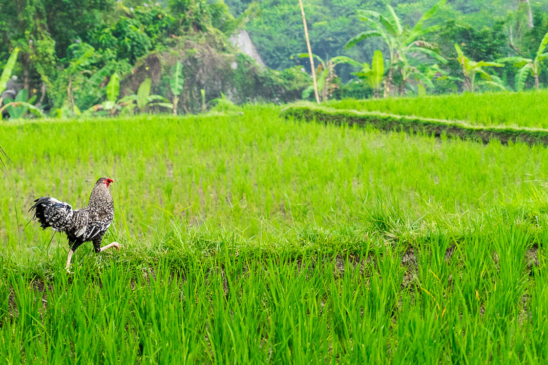 Ubud Rooster Rice Field
