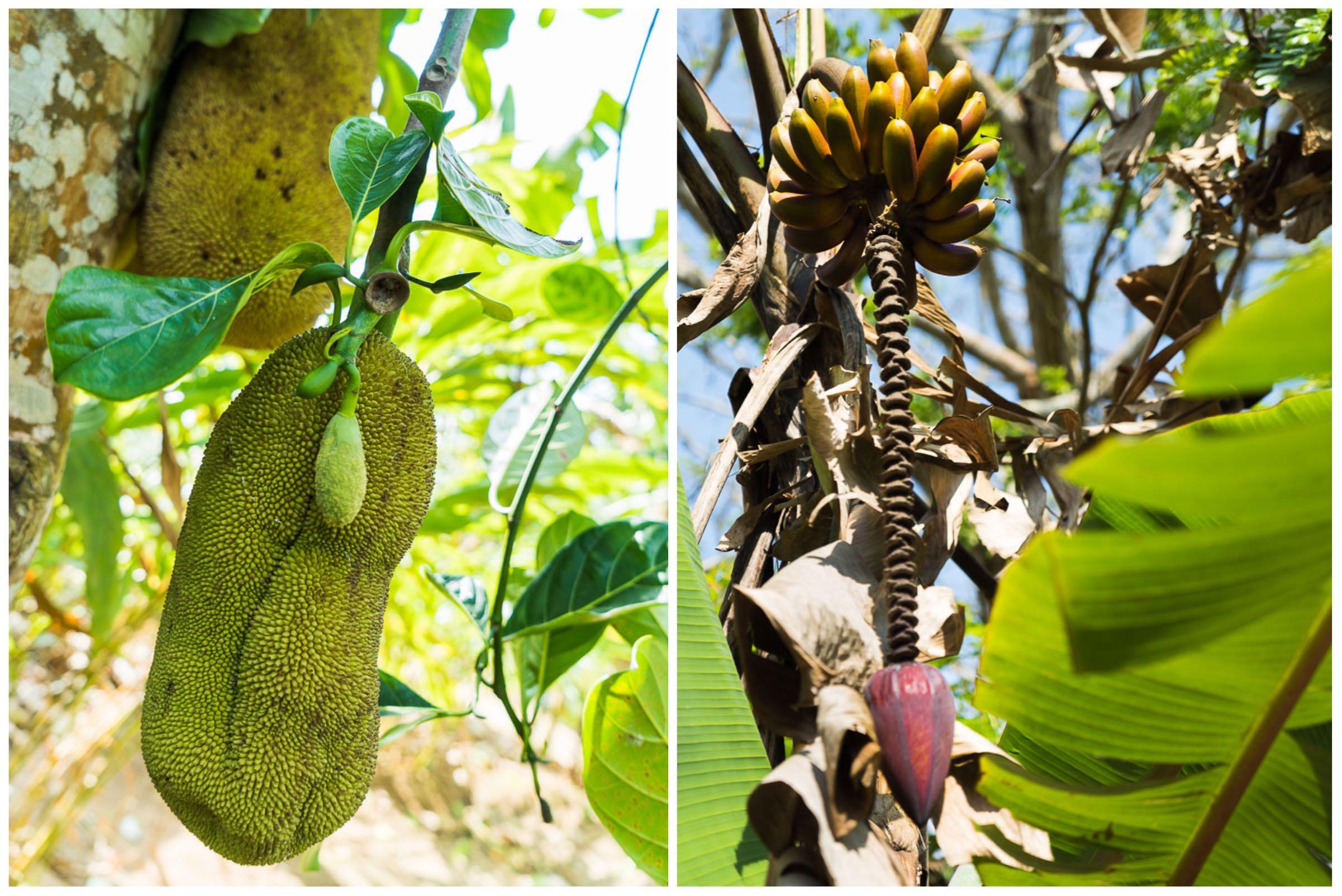 Zanzibar Spice Farm Jackfruit Banana