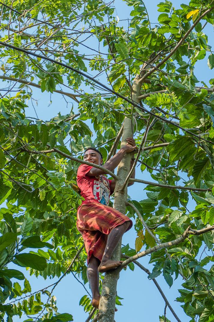 Zanzibar spice tree climbing