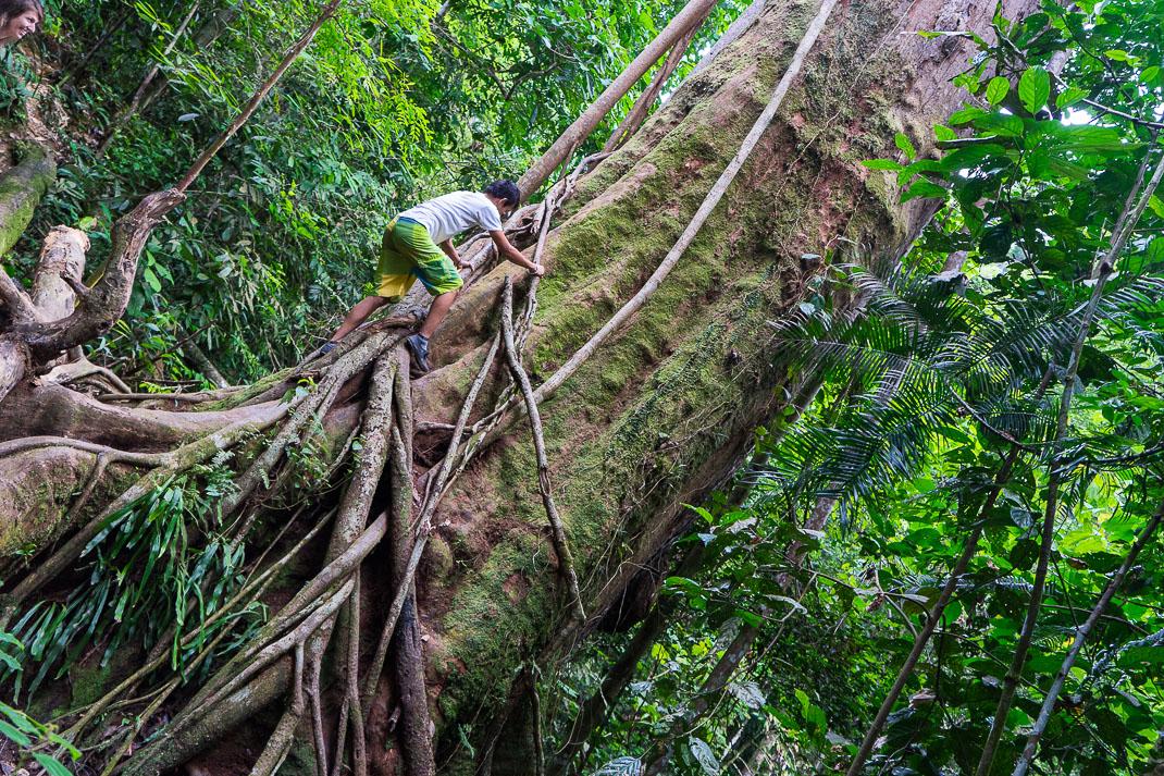 Bukit Lawang Orangutans Giant Tree