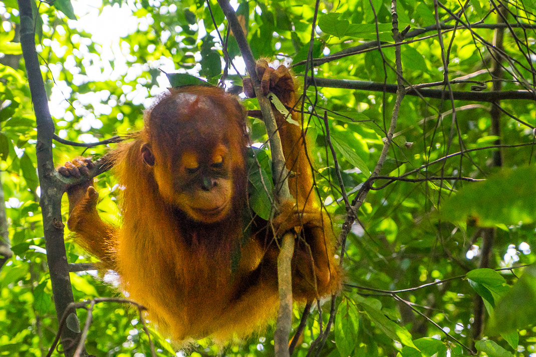 Bukit Lawang Orangutans Baby Gripping