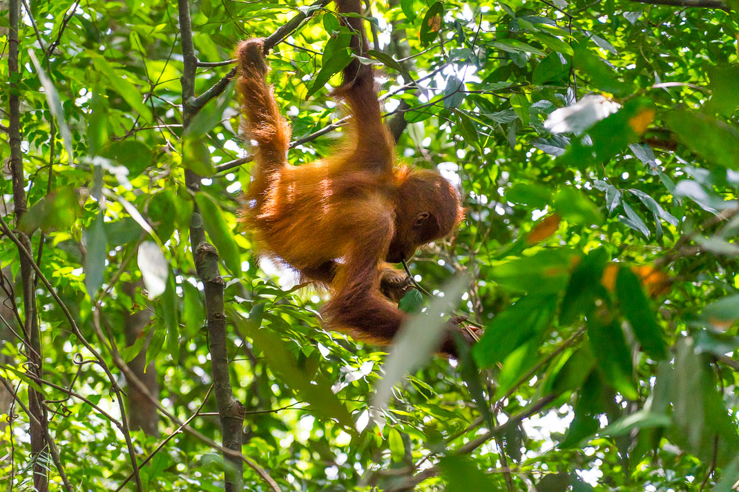 Bukit Lawang Orangutans Baby Swinging