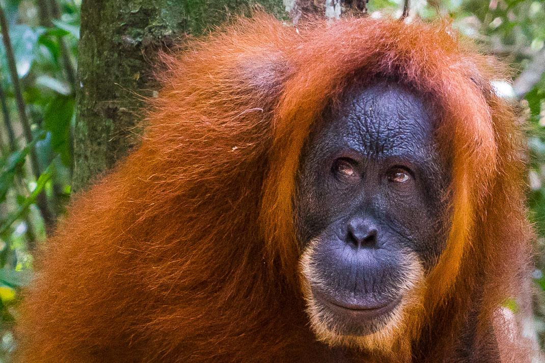 Bukit Lawang Orangutans Profile