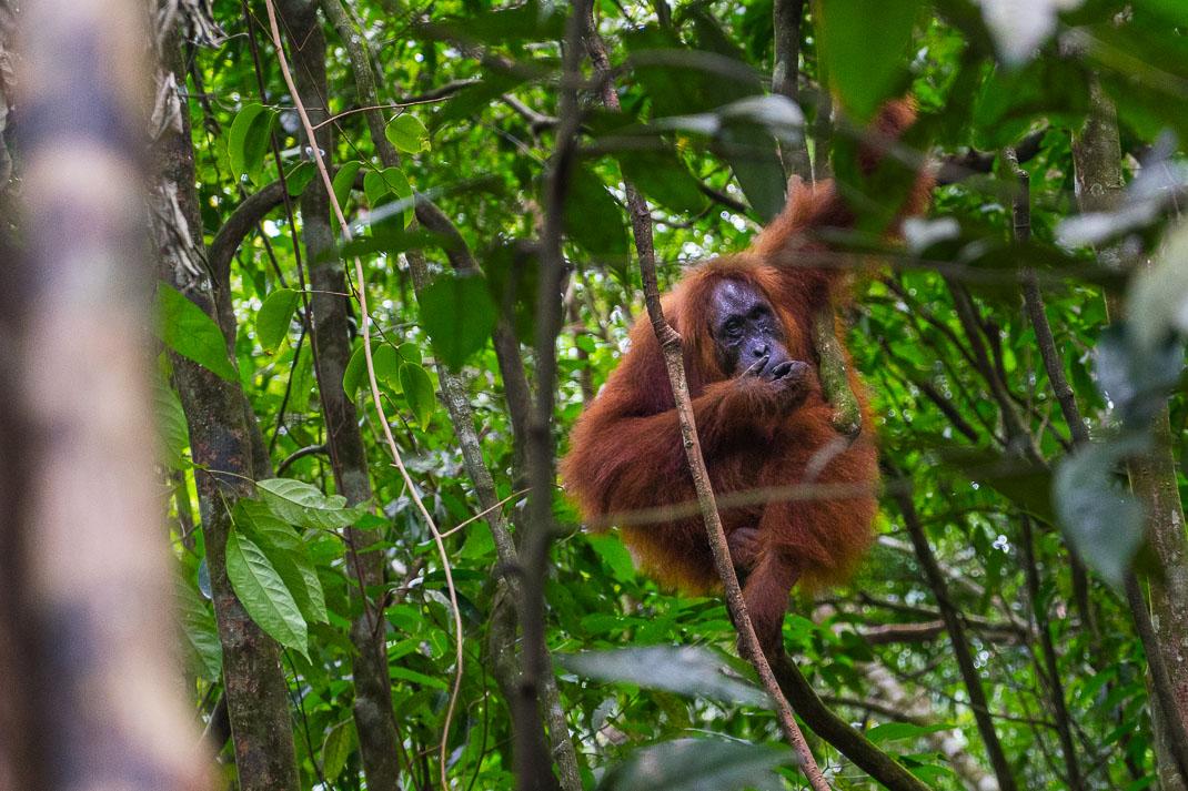 Bukit Lawang Orangutans Through Trees